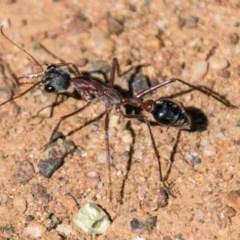 Myrmecia nigriceps (Black-headed bull ant) at Symonston, ACT - 18 Sep 2018 by SWishart
