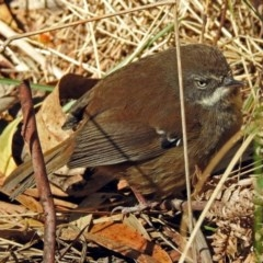 Sericornis frontalis (White-browed Scrubwren) at Tidbinbilla Nature Reserve - 19 Sep 2018 by RodDeb