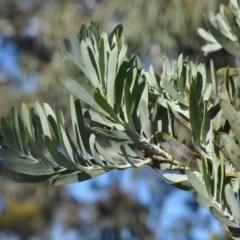 Acacia covenyi (Bendethera wattle, Blue bush) at Griffith Woodland - 20 Sep 2018 by ianandlibby1