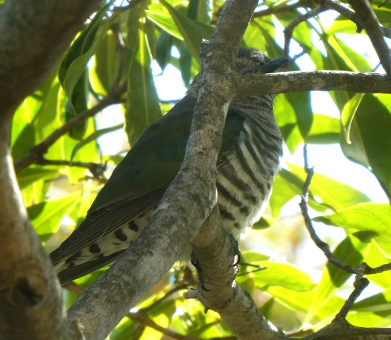 Chrysococcyx lucidus at Wandiyali-Environa Conservation Area - 21 Sep 2018