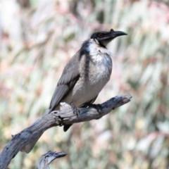 Philemon corniculatus (Noisy Friarbird) at Wanniassa Hill - 18 Sep 2018 by KumikoCallaway