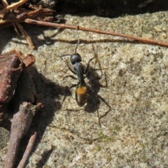 Camponotus aeneopilosus (A Golden-tailed sugar ant) at ANBG - 21 Sep 2018 by RodDeb