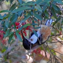 Acanthorhynchus tenuirostris (Eastern Spinebill) at ANBG - 21 Sep 2018 by RodDeb
