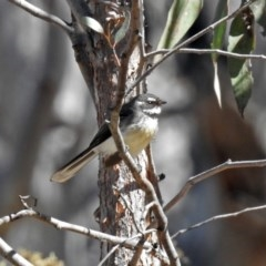 Rhipidura fuliginosa (Grey Fantail) at ANBG - 21 Sep 2018 by RodDeb