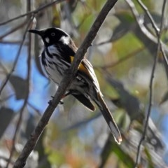 Phylidonyris novaehollandiae (New Holland Honeyeater) at ANBG - 21 Sep 2018 by RodDeb