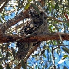 Podargus strigoides (Tawny Frogmouth) at ANBG - 21 Sep 2018 by RodDeb