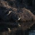 Gallinago hardwickii at Jerrabomberra Wetlands - 20 Sep 2018