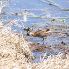 Zapornia pusilla (Baillon's Crake) at Jerrabomberra Wetlands - 21 Sep 2018 by redsnow