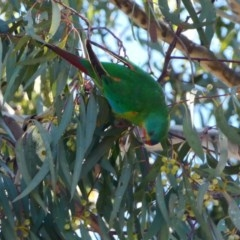Lathamus discolor (Swift Parrot) at Parkes, ACT - 21 Sep 2018 by LuluBird