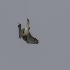 Falco cenchroides (Nankeen Kestrel) at The Pinnacle - 22 Sep 2018 by Alison Milton