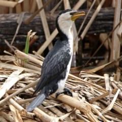 Microcarbo melanoleucos (Little Pied Cormorant) at Jerrabomberra Wetlands - 22 Sep 2018 by RodDeb