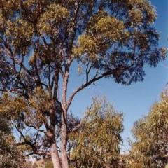Eucalyptus bridgesiana (Apple Box) at Conder, ACT - 23 Mar 2000 by michaelb