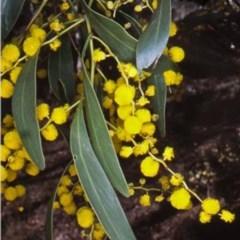 Acacia pycnantha (Golden Wattle) at Mount Jerrabomberra - 22 Aug 2006 by BettyDonWood