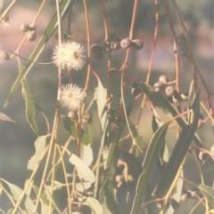 Eucalyptus viminalis (Ribbon Gum) at Gigerline Nature Reserve - 22 Feb 2010 by michaelb