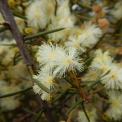 Acacia genistifolia (Early Wattle) at Dryandra St Woodland - 22 May 2015 by MichaelMulvaney