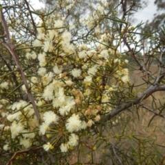 Acacia genistifolia at Dryandra St Woodland - 22 May 2015