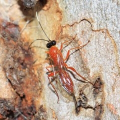 Ichneumonidae sp. (family) (Unidentified ichneumon wasp) at ANBG - 22 Sep 2018 by Tim L