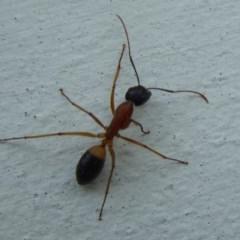 Camponotus consobrinus (Banded sugar ant) at Flynn, ACT - 23 Sep 2018 by Christine