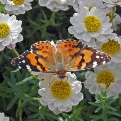 Vanessa kershawi (Australian Painted Lady) at ANBG - 24 Sep 2018 by RodDeb
