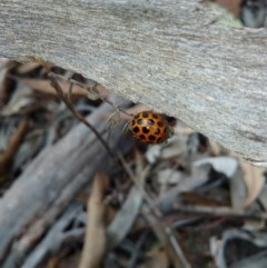 Harmonia conformis (Common Spotted Ladybird) at Carwoola, NSW - 21 Sep 2018 by RyuCallaway