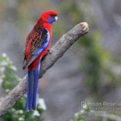 Platycercus elegans (Crimson Rosella) at One Track For All - 22 Sep 2018 by Charles Dove