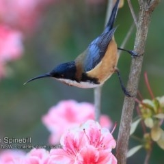 Acanthorhynchus tenuirostris (Eastern Spinebill) at Undefined - 18 Sep 2018 by CharlesDove