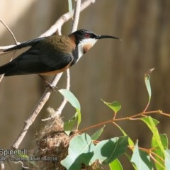 Acanthorhynchus tenuirostris (Eastern Spinebill) at Undefined - 22 Sep 2018 by Charles Dove