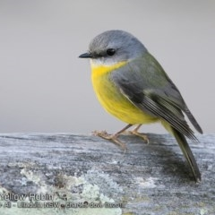 Eopsaltria australis (Eastern Yellow Robin) at One Track For All - 22 Sep 2018 by CharlesDove