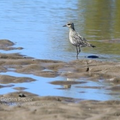 Pluvialis fulva (Pacific Golden Plover) at Comerong Island Nature Reserve - 18 Sep 2018 by Charles Dove