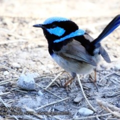 Malurus cyaneus (Superb Fairy-wren) at Coomee Nulunga Cultural Walking Track - 22 Sep 2018 by CharlesDove
