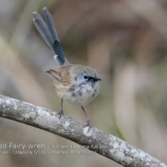 Malurus lamberti (Variegated Fairy-wren) at One Track For All - 21 Sep 2018 by CharlesDove