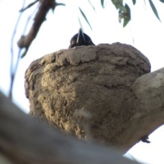 Corcorax melanorhamphos (White-winged Chough) at Duffy, ACT - 25 Sep 2018 by KumikoCallaway