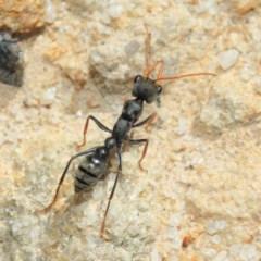 Myrmecia sp., pilosula-group at ANBG - 25 Sep 2018
