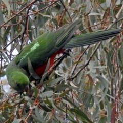 Alisterus scapularis (Australian King-Parrot) at Parkes, ACT - 26 Sep 2018 by RodDeb