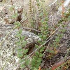 Cheilanthes distans (Bristly cloak fern) at The Pinnacle - 1 May 2015 by Rosie