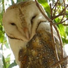 Tyto alba (Barn Owl) at Jerrabomberra Wetlands - 30 Apr 2013 by SteveW