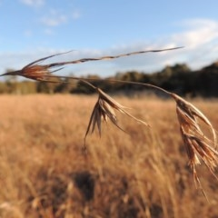 Themeda triandra (Kangaroo Grass) at Umbagong District Park - 25 May 2015 by michaelb