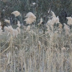 Phragmites australis (Common reed) at Umbagong District Park - 25 May 2015 by michaelb