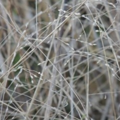 Panicum effusum (Hairy Panic Grass) at Umbagong District Park - 25 May 2015 by michaelb