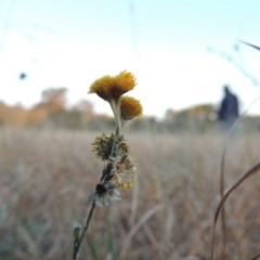 Chrysocephalum apiculatum (Common Everlasting) at Umbagong District Park - 25 May 2015 by michaelb