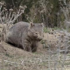 Vombatus ursinus (Wombat) at Bullen Range - 26 Sep 2018 by AlisonMilton