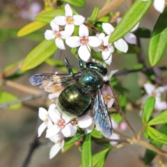 Xylocopa aeratus (Metallic Green Carpenter Bee) at ANBG - 27 Sep 2018 by TimL