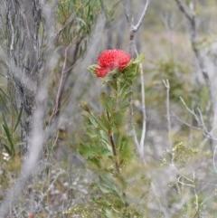 Telopea speciosissima (NSW Waratah) at Jervis Bay National Park - 24 Sep 2018 by NicholasdeJong