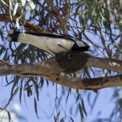 Grallina cyanoleuca (Magpie-lark) at Parkes, ACT - 26 Sep 2018 by AlisonMilton