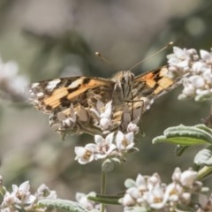 Vanessa kershawi (Australian Painted Lady) at ANBG - 27 Sep 2018 by Alison Milton