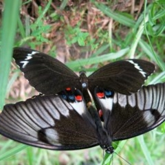 Papilio aegeus (Orchard Swallowtail, Large Citrus Butterfly) at Conjola, NSW - 25 Jan 2017 by Margieras