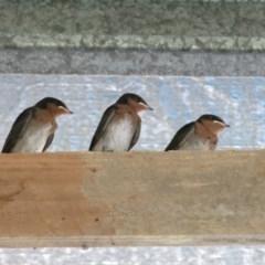 Hirundo neoxena (Welcome Swallow) at Conjola, NSW - 21 Nov 2016 by Margieras