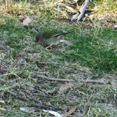Neochmia temporalis (Red-browed Finch) at Conjola, NSW - 29 Aug 2018 by Margieras