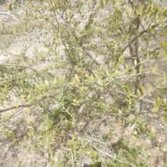 Olea europaea subsp. cuspidata (African Olive) at Callum Brae - 28 Sep 2018 by MichaelMulvaney