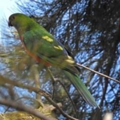 Alisterus scapularis (Australian King-Parrot) at Parkes, ACT - 28 Sep 2018 by RodDeb